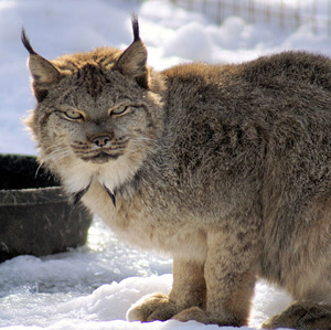 Tenuous lynx to terrorism in the high country