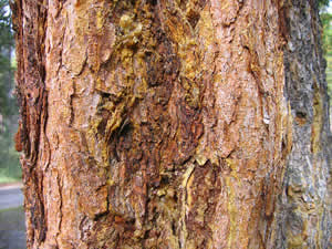 A pine bark beetle infestation leaves a sappy mess as lodgepole pines try to reject the bugs, but in the end the rice-sized insects have their way and the tree dies.