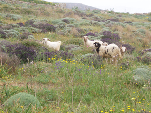 These sheep, on the island of Safos, roam freely along treeless, grassy hillsides. It wasn�t always so. Legend holds that an early Greek king ordered the entire Grecian kingdom to cut down existing trees and replace them with olive trees. The olive trees could not hold root, and died, leaving Greece with the rocky shoreline it has today. Overfishing, too, has left the Mediterranean as one of the most depleted aquatic environments in the world.