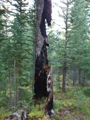 On a hike this September, before the snows came, I relaxed for a snooze near this burned and mangled, long-dead tree.