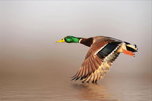 In annual giving during tough economy, consider Ducks Unlimited